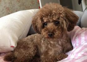 寻狗启示,苏州常熟市汽车站附近丢了公泰迪狗狗,它是一只非常可爱的宠物狗狗,希望它早日回家,不要变成流浪狗。