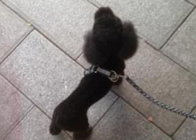 寻狗启示,重庆沙坪坝磁器口寻黑色贵宾(泰迪),它是一只非常可爱的宠物狗狗,希望它早日回家,不要变成流浪狗。