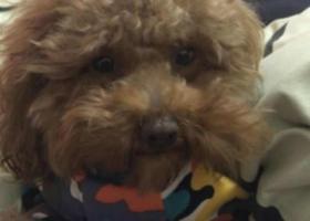 寻狗启示,为狗狗找到回家路,甜甜快回家我们好想你,它是一只非常可爱的宠物狗狗,希望它早日回家,不要变成流浪狗。