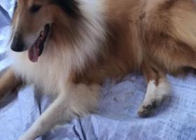 寻狗启示,有丢失狗狗的朋友看看,它是一只非常可爱的宠物狗狗,希望它早日回家,不要变成流浪狗。