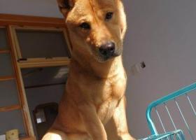 寻狗启示,济南市槐荫区顺安苑小区酬谢两千元寻找柴犬,它是一只非常可爱的宠物狗狗,希望它早日回家,不要变成流浪狗。