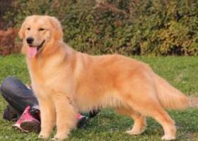 寻狗启示,在白云区钟广从四路附近捡到一条金毛犬。,它是一只非常可爱的宠物狗狗,希望它早日回家,不要变成流浪狗。