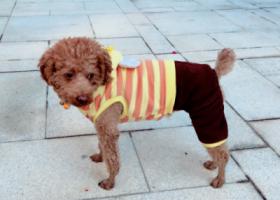 寻狗启示,4.10 广州天河穗园小区B座丢失棕色泰迪,它是一只非常可爱的宠物狗狗,希望它早日回家,不要变成流浪狗。