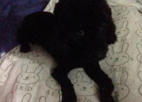 寻狗启示,重庆市沙坪坝区瓷器口寻黑色贵宾(泰迪),它是一只非常可爱的宠物狗狗,希望它早日回家,不要变成流浪狗。