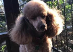 寻狗启示,棕色贵宾在枫林天下走失,它是一只非常可爱的宠物狗狗,希望它早日回家,不要变成流浪狗。