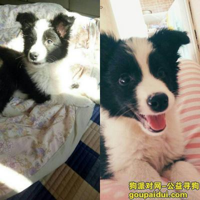 盘锦找狗,盘锦市海圆小区北区酬谢两千元寻找小边牧,它是一只非常可爱的宠物狗狗,希望它早日回家,不要变成流浪狗。