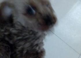 寻狗启示,棕色小型母泰迪,名叫点点,它是一只非常可爱的宠物狗狗,希望它早日回家,不要变成流浪狗。