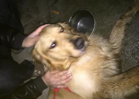 寻狗启示,瑶海区古井丰水源小区捡到一只走丢的金毛,它是一只非常可爱的宠物狗狗,希望它早日回家,不要变成流浪狗。