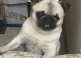 寻狗启示,天津隆昌路附近丢失爱狗「重金寻狗」,它是一只非常可爱的宠物狗狗,希望它早日回家,不要变成流浪狗。
