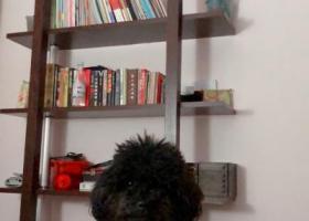 寻狗启示,重金寻狗:乌鲁木齐儿童公园附近走丢黑色泰迪,它是一只非常可爱的宠物狗狗,希望它早日回家,不要变成流浪狗。