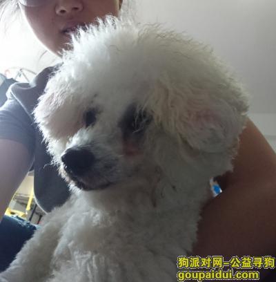 厦门寻狗主人,捡到一只雄性白贵宾或比熊,它是一只非常可爱的宠物狗狗,希望它早日回家,不要变成流浪狗。
