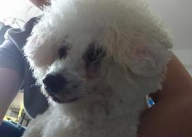 寻狗启示,捡到一只雄性白贵宾或比熊,它是一只非常可爱的宠物狗狗,希望它早日回家,不要变成流浪狗。