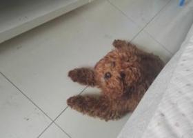 寻狗启示,大成小区公交站捡到棕色贵宾,它是一只非常可爱的宠物狗狗,希望它早日回家,不要变成流浪狗。