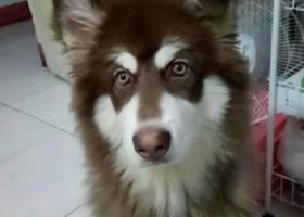 寻狗启示,阿拉斯加,棕红色,11个月,它是一只非常可爱的宠物狗狗,希望它早日回家,不要变成流浪狗。
