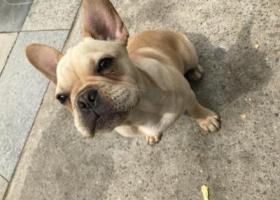 寻狗启示,法国斗牛犬在凤城二路天地时代广场附近走失 奶油色,它是一只非常可爱的宠物狗狗,希望它早日回家,不要变成流浪狗。
