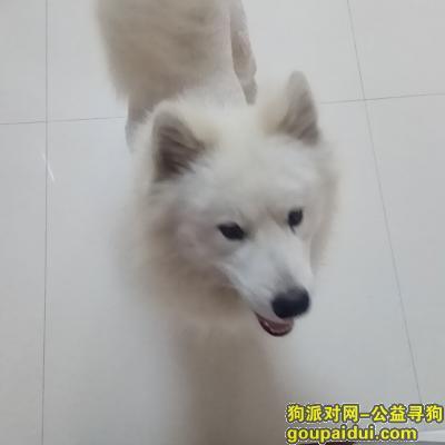 盐城捡到狗,2018年4月10日在盐城便仓捡到萨摩耶(公)一只,它是一只非常可爱的宠物狗狗,希望它早日回家,不要变成流浪狗。
