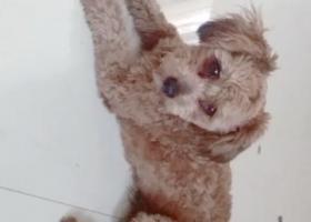 寻狗启示,泰迪狗没断尾在海坛商业城下去汽车站那边丢的,它是一只非常可爱的宠物狗狗,希望它早日回家,不要变成流浪狗。