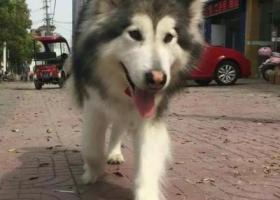 寻狗启示,4.14南京雨花台区大定坊走失阿拉斯加,它是一只非常可爱的宠物狗狗,希望它早日回家,不要变成流浪狗。