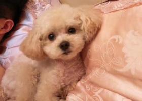 寻狗启示,杭州采荷环城东路附近走丢,白色迷你泰迪穿粉色小背心,它是一只非常可爱的宠物狗狗,希望它早日回家,不要变成流浪狗。