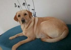 寻狗启示,急寻爱犬拉布拉多!急!急!急!,它是一只非常可爱的宠物狗狗,希望它早日回家,不要变成流浪狗。