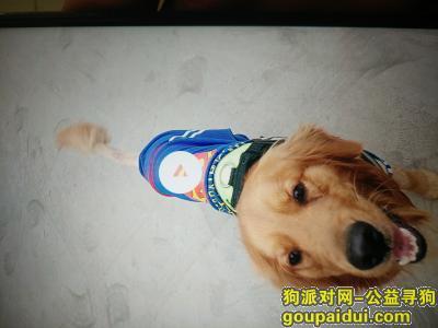 日照寻狗启示,找狗儿子 很急 希望能够有好心人看到,它是一只非常可爱的宠物狗狗,希望它早日回家,不要变成流浪狗。