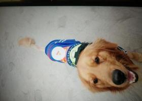 寻狗启示,找狗儿子 很急 希望能够有好心人看到,它是一只非常可爱的宠物狗狗,希望它早日回家,不要变成流浪狗。
