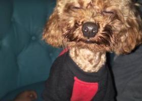 寻狗启示,5000元寻找爱犬棕色小体泰迪,它是一只非常可爱的宠物狗狗,希望它早日回家,不要变成流浪狗。