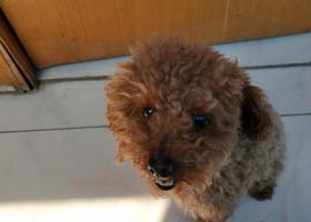 寻狗启示,小泰迪急找麻麻,我想回家,它是一只非常可爱的宠物狗狗,希望它早日回家,不要变成流浪狗。
