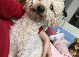 寻狗启示,东莞市樟木头镇丢失香槟色泰迪希望爱心人士帮忙,它是一只非常可爱的宠物狗狗,希望它早日回家,不要变成流浪狗。