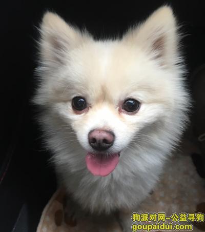 寻狗启示,白色博美在老家丢失,汝南县官庄村,它是一只非常可爱的宠物狗狗,希望它早日回家,不要变成流浪狗。
