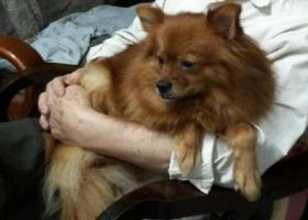 寻狗启示,急寻棕色博美宠物犬,家里老人急疯了,它是一只非常可爱的宠物狗狗,希望它早日回家,不要变成流浪狗。