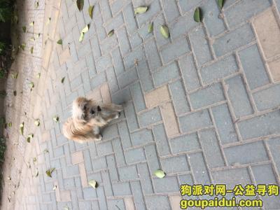 宿迁捡到狗,滨江花园附近一只小金毛,它是一只非常可爱的宠物狗狗,希望它早日回家,不要变成流浪狗。