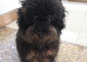 寻狗启示,黑色跟棕色泰迪公狗不大5~6个月,它是一只非常可爱的宠物狗狗,希望它早日回家,不要变成流浪狗。