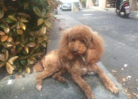寻狗启示,贵宾犬点点在杭州古墩路4月14号下午4点丢失,忘好心人帮忙留意一下!,它是一只非常可爱的宠物狗狗,希望它早日回家,不要变成流浪狗。