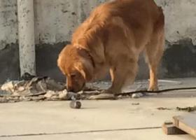 寻狗启示,南白象金凤佳园处走失金毛,它是一只非常可爱的宠物狗狗,希望它早日回家,不要变成流浪狗。