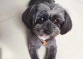 寻狗启示,寻找黑灰色泰迪雪纳瑞串串一只(母狗),名叫LiLy,11斤左右,右眼白内障失明,在白云区石井新庄上街附近走失,它是一只非常可爱的宠物狗狗,希望它早日回家,不要变成流浪狗。