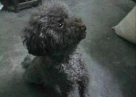 西安寻狗 必有酬谢 于4月14日早上4点在和平路东六道巷附近走丢 公灰褐色泰迪