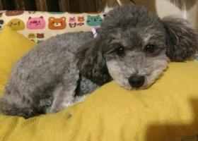 寻找爱犬灰色泰迪公狗