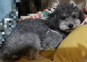 寻找爱犬 浅灰色 泰迪公狗