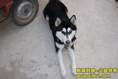 蚌埠寻狗启示,蚌埠涂山公墓走丢一只哈士奇,它是一只非常可爱的宠物狗狗,希望它早日回家,不要变成流浪狗。