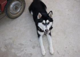 寻狗启示,蚌埠涂山公墓走丢一只哈士奇,它是一只非常可爱的宠物狗狗,希望它早日回家,不要变成流浪狗。