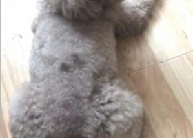 寻狗启示,灰色贵宾认领  公  KKMALL附近,它是一只非常可爱的宠物狗狗,希望它早日回家,不要变成流浪狗。