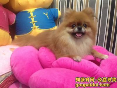 广元寻狗启示,四川广元苍溪寻找残疾黄色小博美,它是一只非常可爱的宠物狗狗,希望它早日回家,不要变成流浪狗。