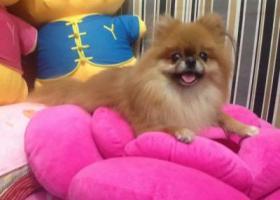 寻狗启示,四川广元苍溪寻找残疾黄色小博美,它是一只非常可爱的宠物狗狗,希望它早日回家,不要变成流浪狗。