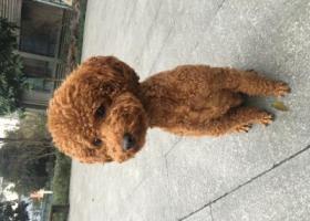 寻狗启示,寻找爱犬棕色泰迪蛋蛋,它是一只非常可爱的宠物狗狗,希望它早日回家,不要变成流浪狗。
