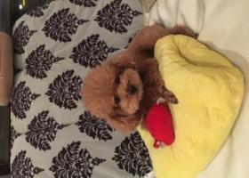 寻狗启示,好心人万元寻找六岁泰迪,它是一只非常可爱的宠物狗狗,希望它早日回家,不要变成流浪狗。