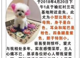 寻狗启示,三亚市吉阳区榆亚路榆红村酬谢五千元寻找比熊,它是一只非常可爱的宠物狗狗,希望它早日回家,不要变成流浪狗。