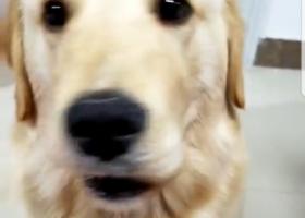 寻狗启示,自家金毛狗,四月二十二号上午从威海市乳山市银河海景御花园小区走丢,它是一只非常可爱的宠物狗狗,希望它早日回家,不要变成流浪狗。