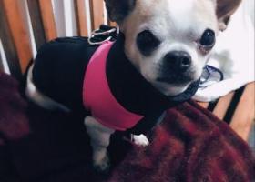 寻狗启示,已找到,它是一只非常可爱的宠物狗狗,希望它早日回家,不要变成流浪狗。