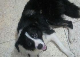 寻狗启示,汕头龙湖捡到一只流浪狗,它是一只非常可爱的宠物狗狗,希望它早日回家,不要变成流浪狗。